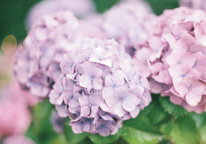 形原温泉 あじさいの里の紫陽花