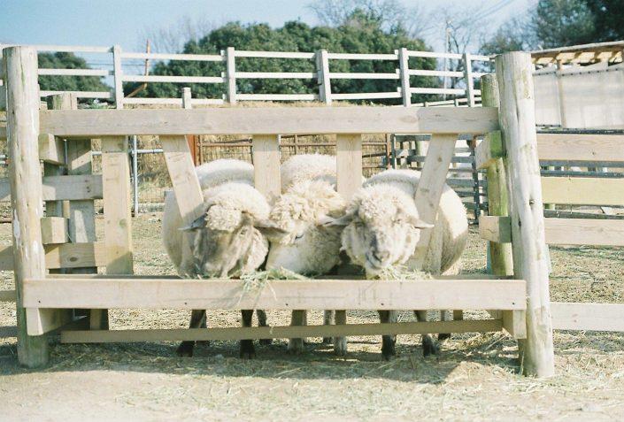 愛知牧場の羊