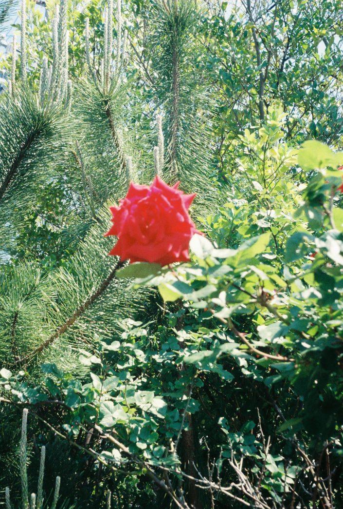 ハーフカメラで撮ったバラ