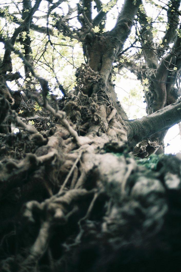 奈良尾神社のあこう樹02